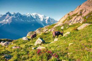 Animaux de montagne en été